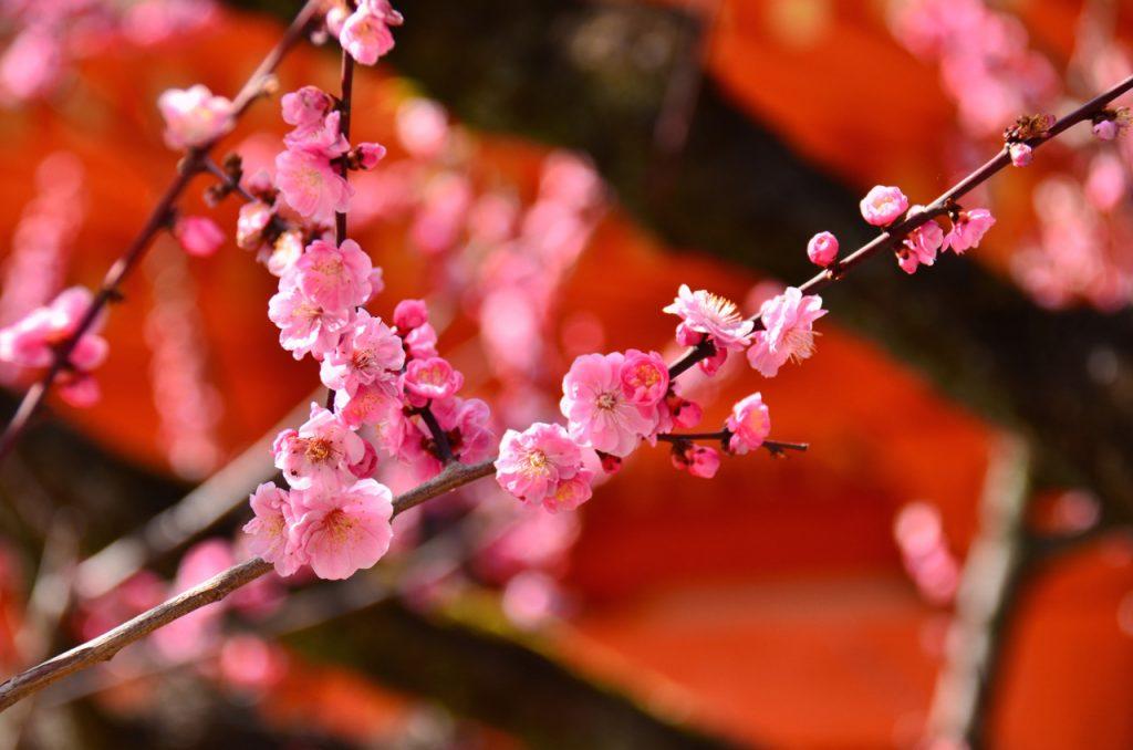 梅の開花発表